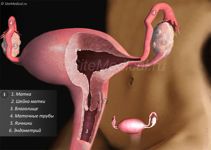 Строение матки и эндометрия.